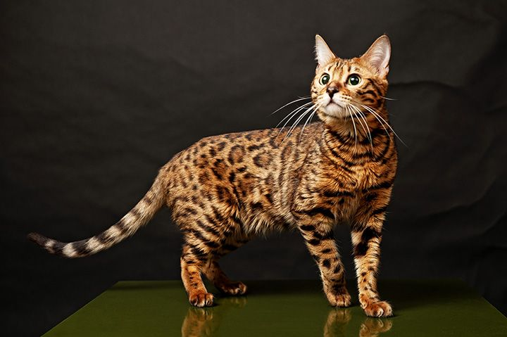 Long Haired Cat Breeds Types Of Big Cats Cat Life Span Animals Starting With N Domestic Cats Animals That Start With Cat Breeds Bengal Cat Breeders Bengal Cat