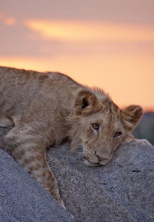 teenaged lion