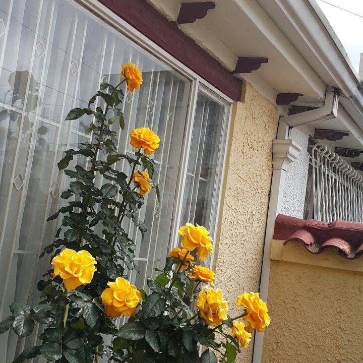 Rosas de mi casa....