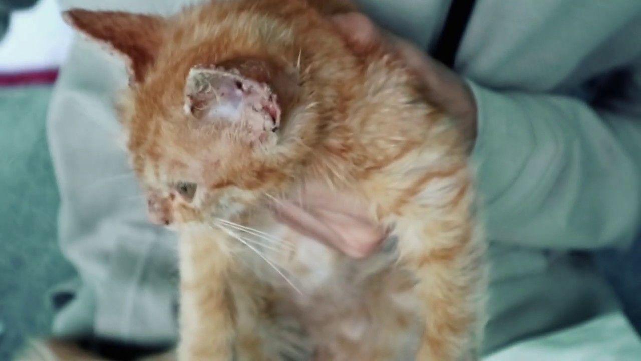 Cara Mengobati Scabies Pada Kucing Tanpa Ke Dokter Hewan Tips Merawat Dokter Hewan Hewan Kucing