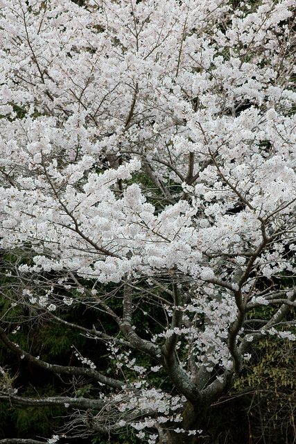 Sakura Tree Sakura Tree White Gardens Japanese Garden