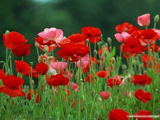 Bulk 500 poppy seeds red and pink poppy flowers reseeds itself bulk 500 poppy seeds red and pink poppy flowers reseeds itself pink poppies poppy flowers and seeds mightylinksfo