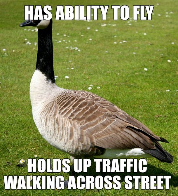 Scumbag Canadian Goose With Images Canadian Goose Duck Memes