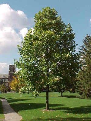 Tulip Poplar Trees and Focal Points Pinterest Yards Garden