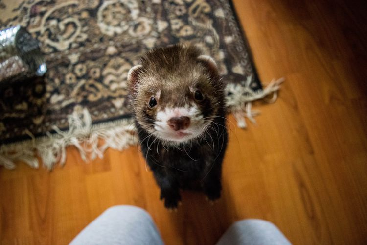 What Kind Of Diseases Can Pet Ferrets Get Pet Ferret Ferret