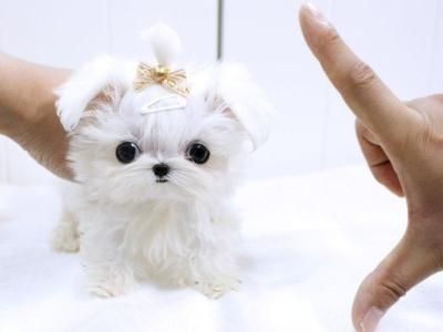 Maltese Puppy Pet Dogs Puppies Really Cute Puppies Maltese Puppy