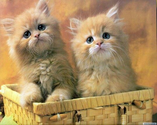 2 Orange Kittens In Picnic Basket Looking Up Baby Cats Cute
