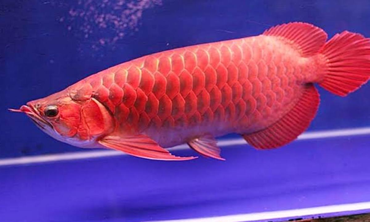 Gambar Ikan Arwana Png Dari Koleksi Berbagai Gambar Ikan Arwana Yang Fantastis Ikan Ikan Koi Gambar