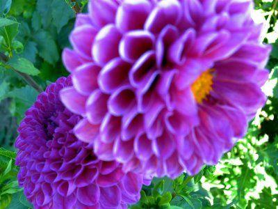 Dahila In My Front Yard Last Summer Flower Pots Beautiful Flowers Pretty Flowers