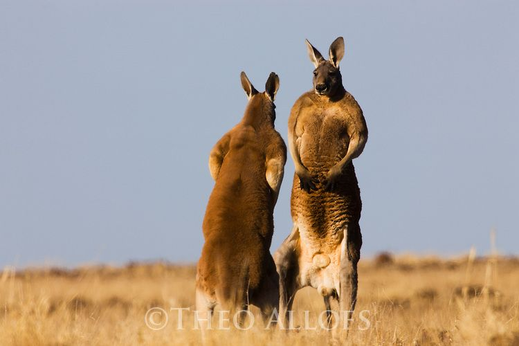 Red kangaroo   red kangaroo males facing each other   Theo Allofs Photography