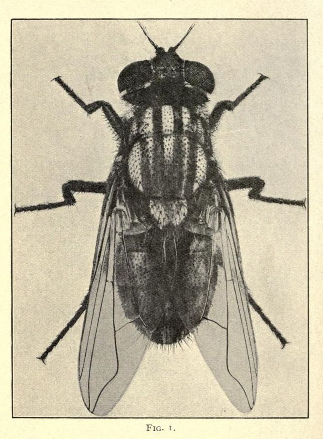 Frontispiece The House Fly A Slayer Of Men Nemfrog Flying Tattoo Fly Drawing Insect Art