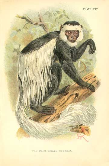 White Tailed Guereza Or Black And White Colobus Monkey