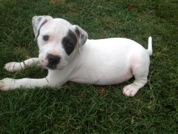Gotti Razors Edge Blue Pitbull Terrior Pups Awesome Cute