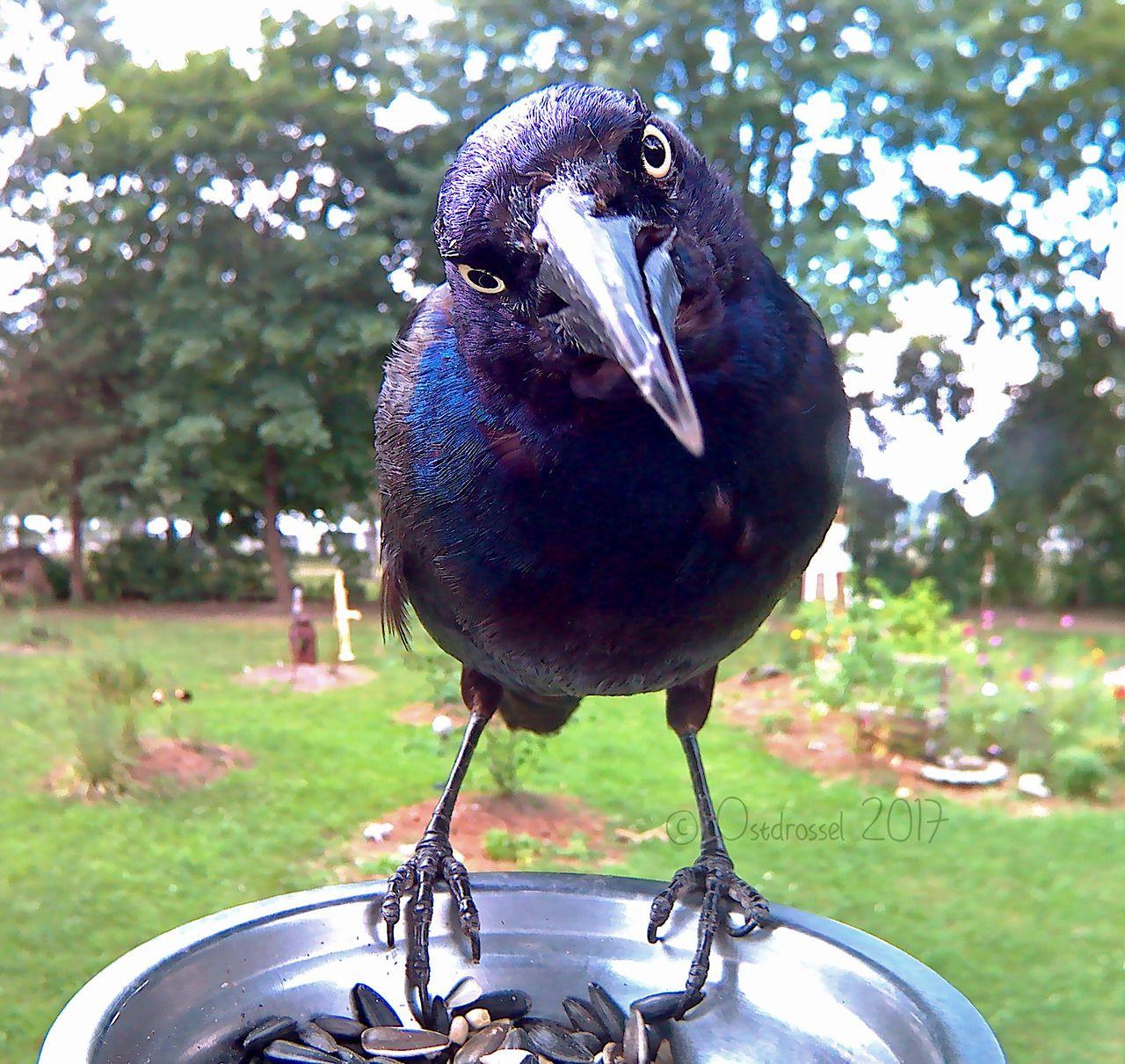 Bird problems. When your beak is too long to be in focus. - #america #backyard #beak #big #birdlovers #birdphotobooth #birdphotography #Birds #Common #Grackle #Grackles #michigan #north #of