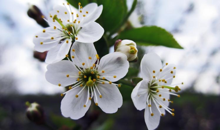 White Cherry Blossom Cherry Blossom Sakura Flower White Cherry Blossom