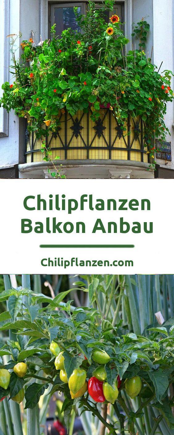 chili auf dem balkon pflanzen zimmerpflanzen balkon terrasse pinterest chili pflanzen. Black Bedroom Furniture Sets. Home Design Ideas