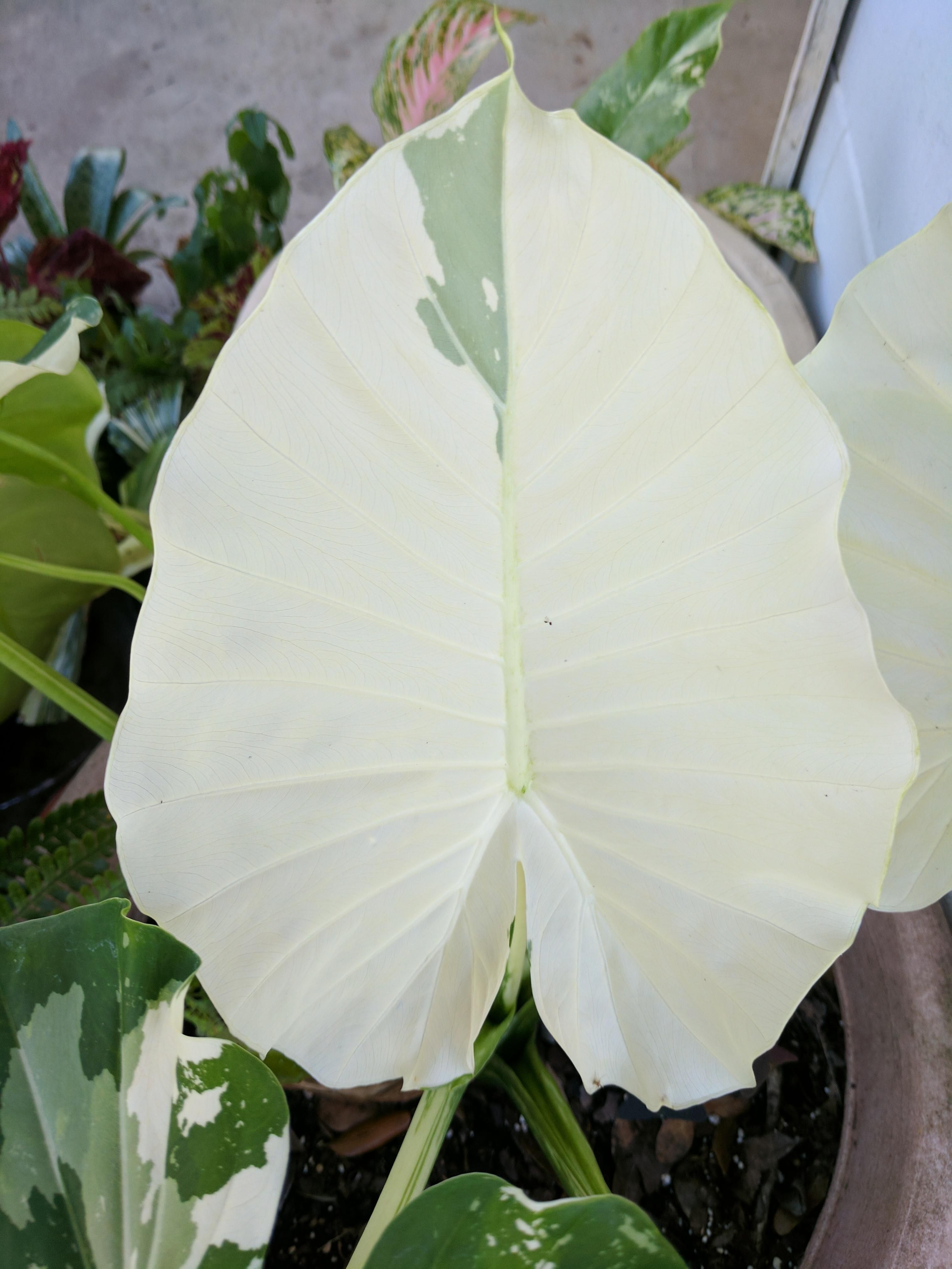 Close Up Of The Almost All White Elephant Ear Leaf Alocasia