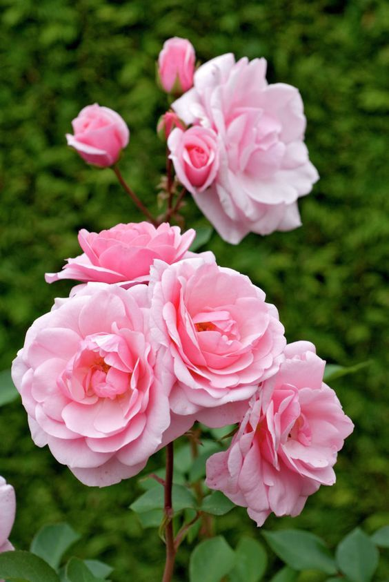 Sexy rexy floribunda rose bush garden web