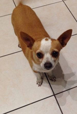 Found Chihuahua in El Monte, CA US 91731ID# 424060 Female  Yellow & White  Chihuahua  El Monte (91731) Found on 07/23/2014