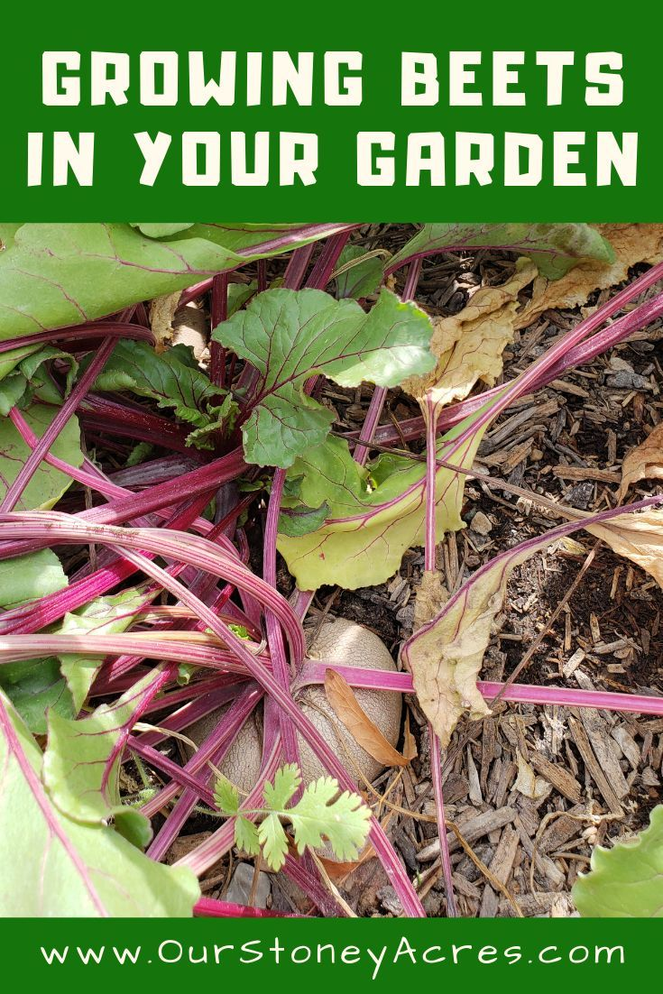 Growing beets in your backyard garden backyard vegetable