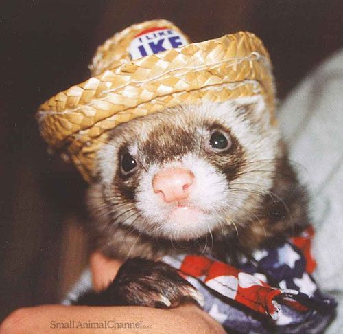 Random Thoughts By And About Our Wonderful Pet Ferrets Pet