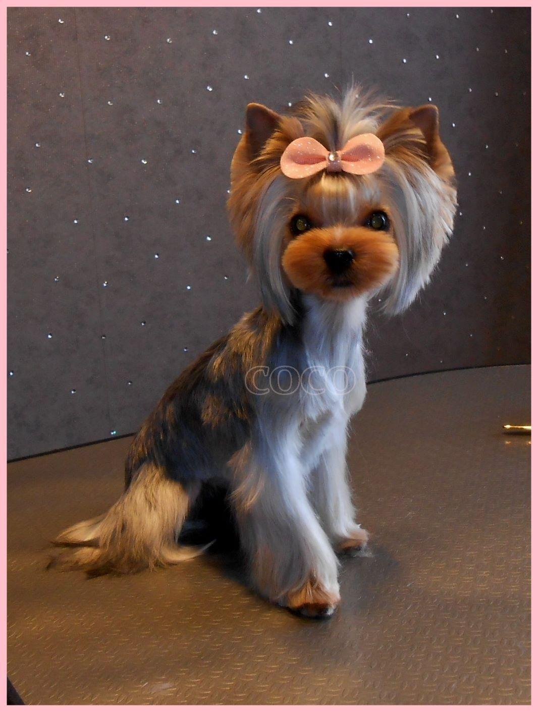 Cute Yorkie Haircuts Verschiedene Yorkshire Terrier Frisuren Mit Bildern Y Bildern Cute Frisuren Hundehaarschnitte Yorkie Frisuren Yorkie Welpen