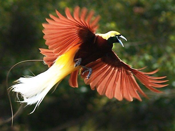 Burung Cendrawasih Burung khas Papua ini mendapat sebutan