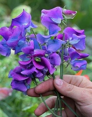 Lathyrus Odoratus Blue Shift Something Wondrous New In Sweet Pea Land Color Shifting Blooms Another Keith Hammett Creation Each Flower Begins Life