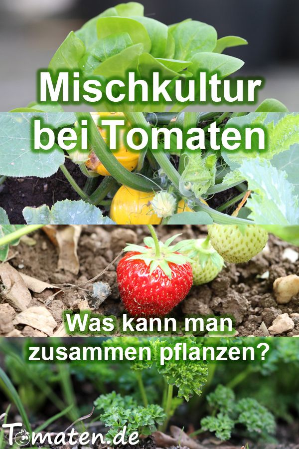 Mischkultur bei Tomaten – was kann man zusammen pflanzen?