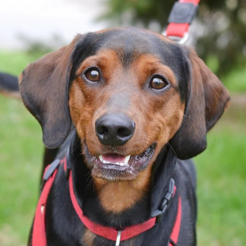 Adopt Snickers Adopted On Dogs Dog Cat Miniature Pinscher
