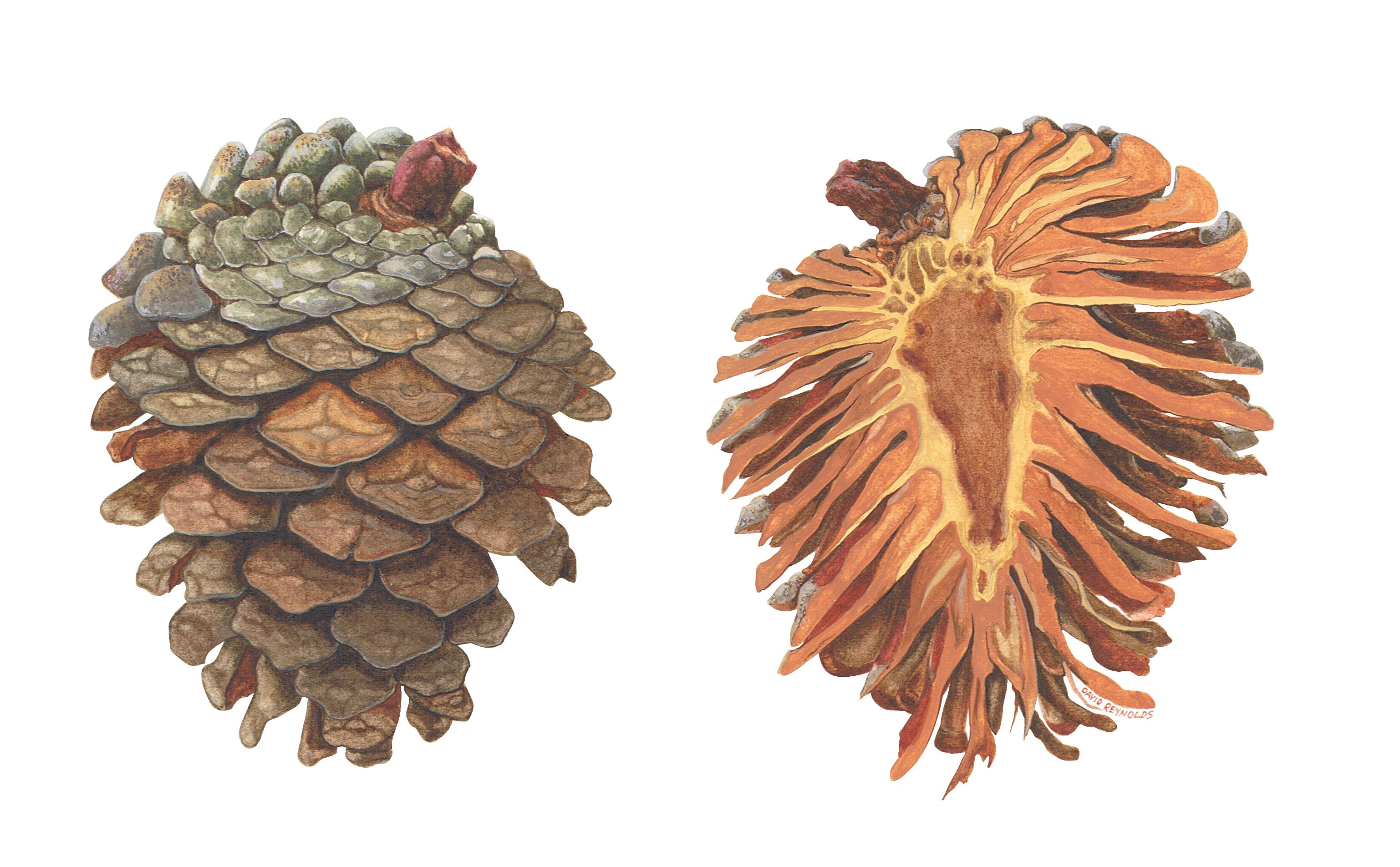 Pine cone dissection. I wanted to see what the inside looked like ...