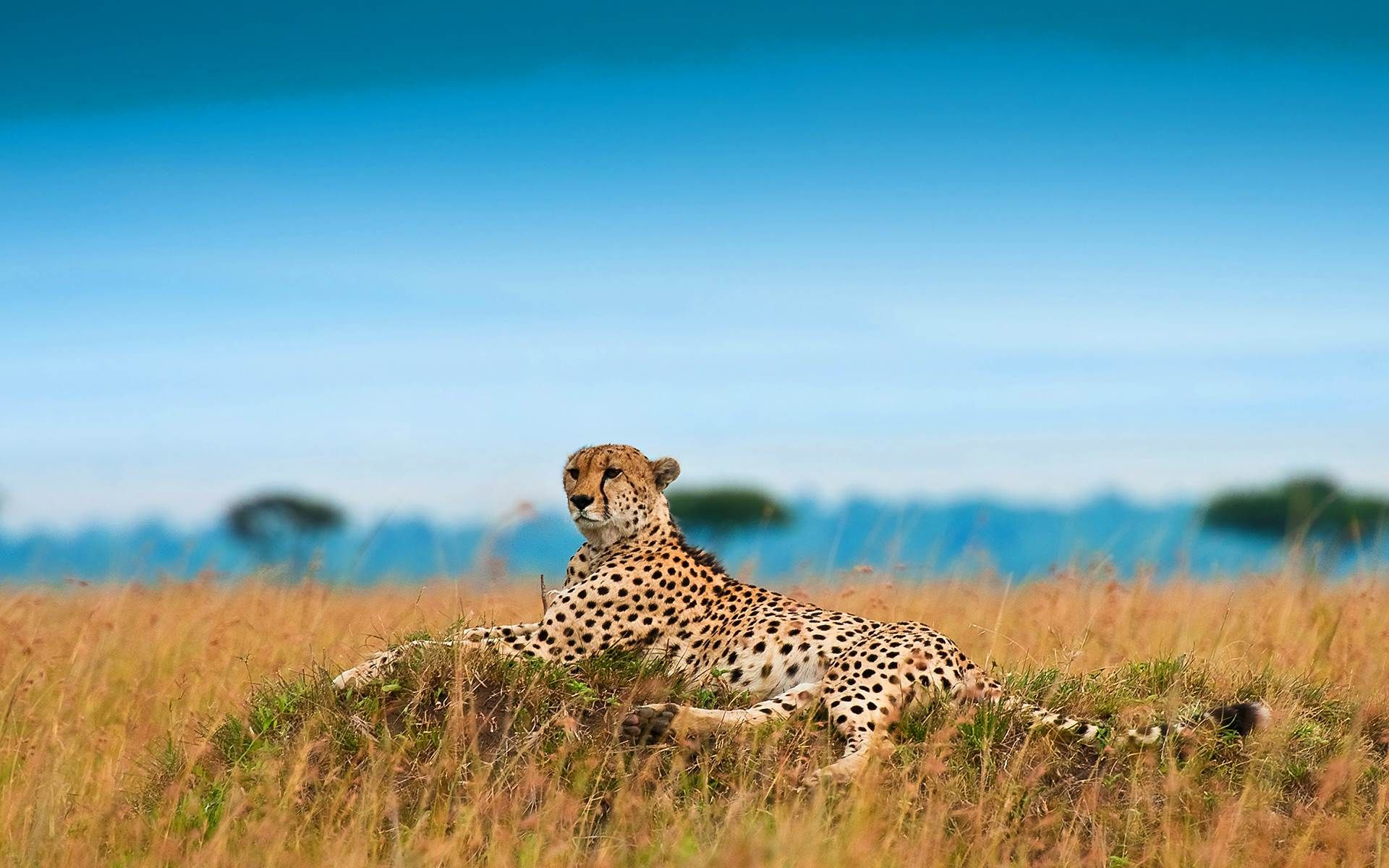 Cheetah video running wallpapers keyword 16001200 cheetah pictures cheetah video running wallpapers keyword 16001200 cheetah pictures adorable wallpapers voltagebd Image collections