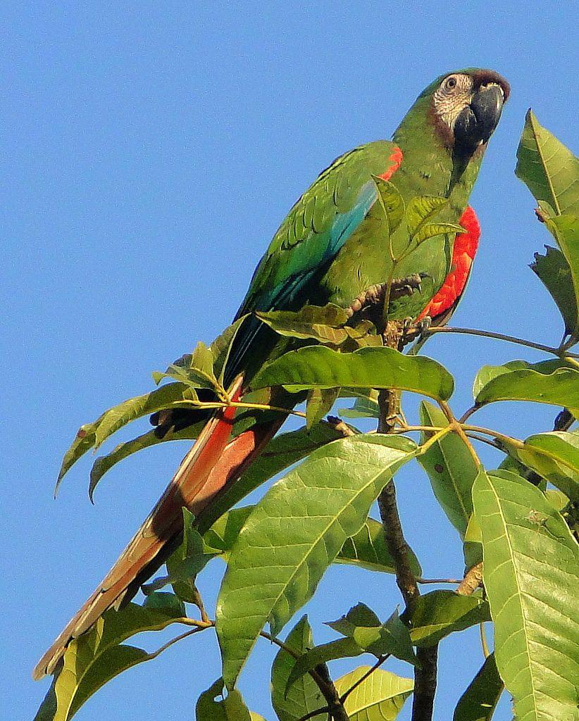 El maracaná grande o guacamayo severo (Ara severus) En su plumaje predomina el color verde, excepto por la parte inferior de las alas, que es roja, y la parte superior de las primarias, que es azul; las plumas de la cola también son rojas y azules.