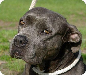 Daytona Beach, FL - American Staffordshire Terrier Mix ...