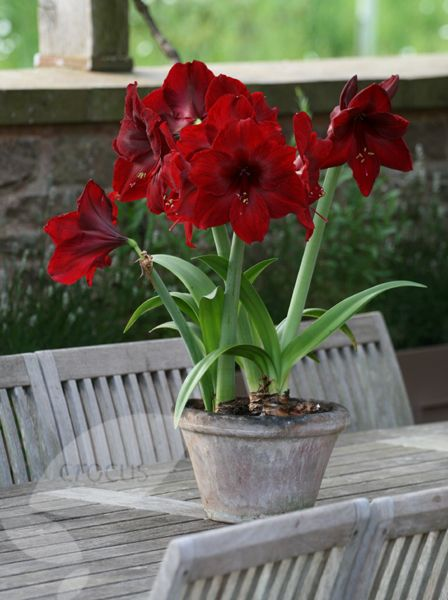 Buy Amaryllis Black Pearl Hippeastrum Black Pearl Delivery By Amaryllis Plant Plants Bulbous Plants