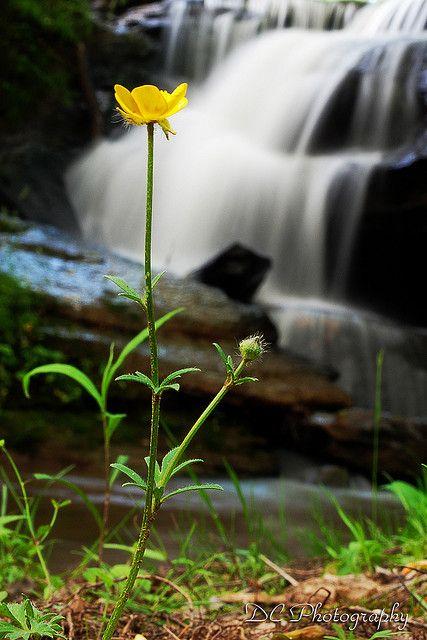 Buttercup by Denzil C, via Flickr