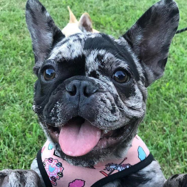 The Smart Frenchie Puppies Personality Frenchbulldogstyle