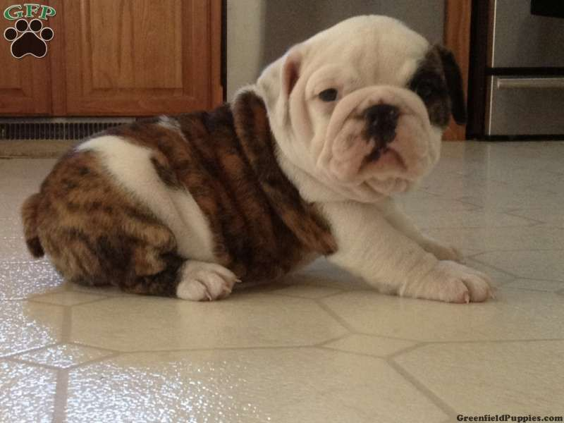 Gretchen English Bulldog Puppy For Sale From Honey Brook Pa