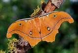 Giant Leopard Moth or Eyed Tiger