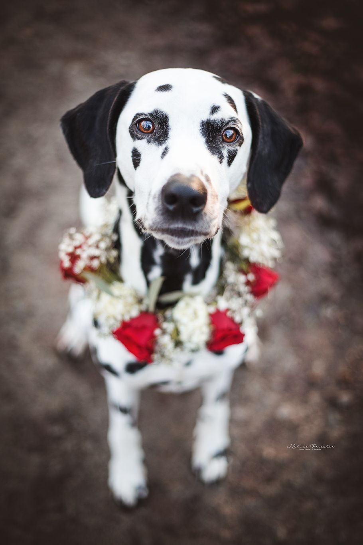 Dalmatiner Mit Rosenkranz Hundefotografie Tierfotografie Tierfotograf