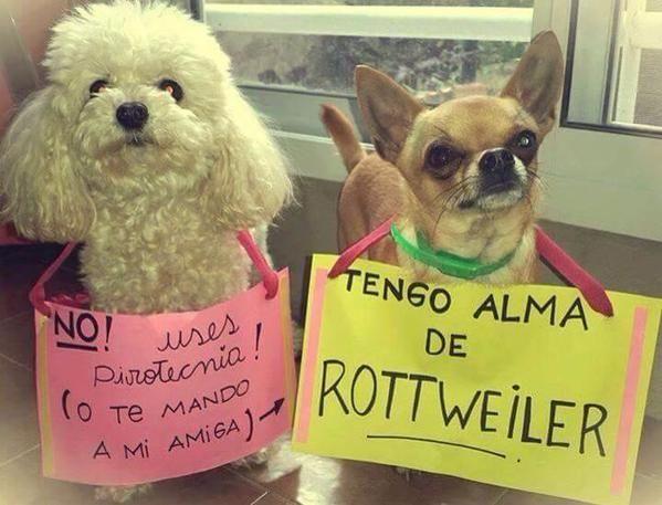 Diana Cuevas Dianacuevasp Twitter Perros Graciosos Animales Rottweiler