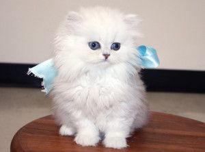 Available Teacup Persian Kittens Cats Creation Teacup Persian Kittens Persian Kittens Teacup Persian Kittens White Persian Kittens