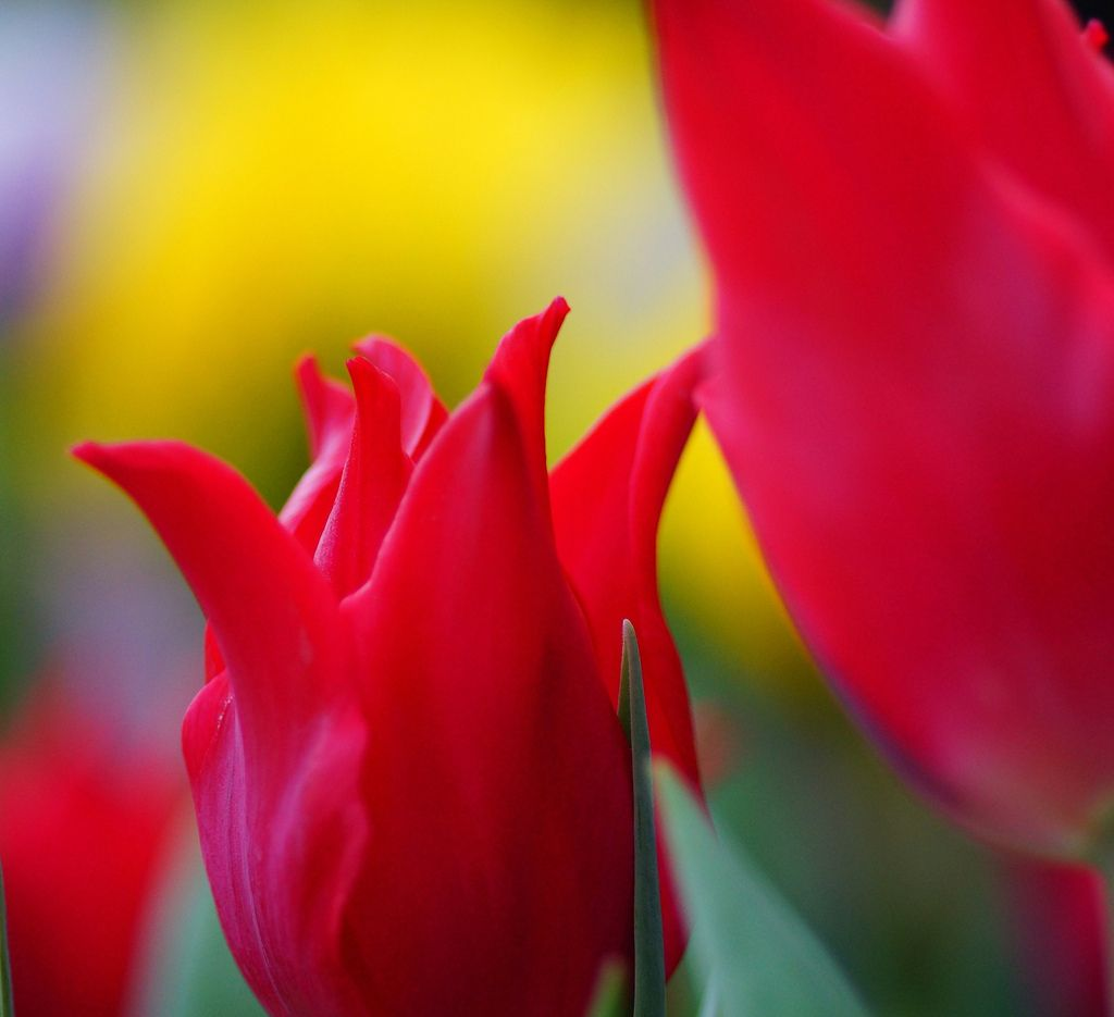 Tulipa gesneriana  in The Kyoto Botanical Garden