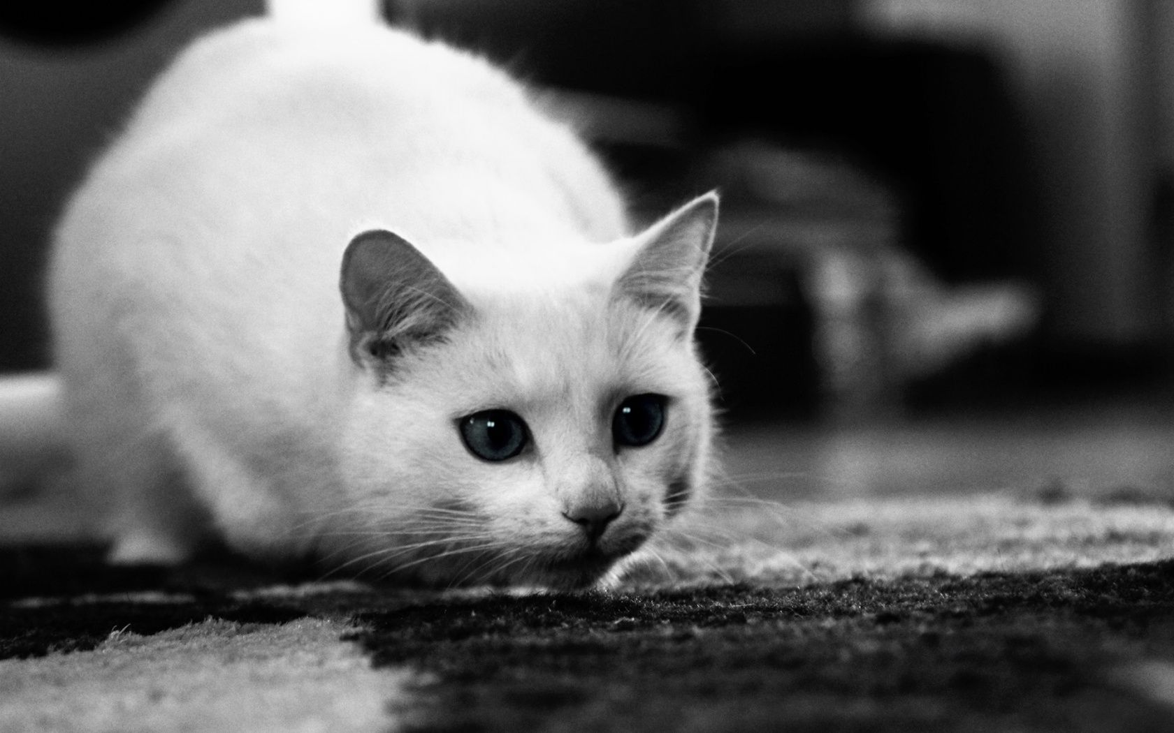 Black And White Animal Photo Homepage Cat White Cat Hd