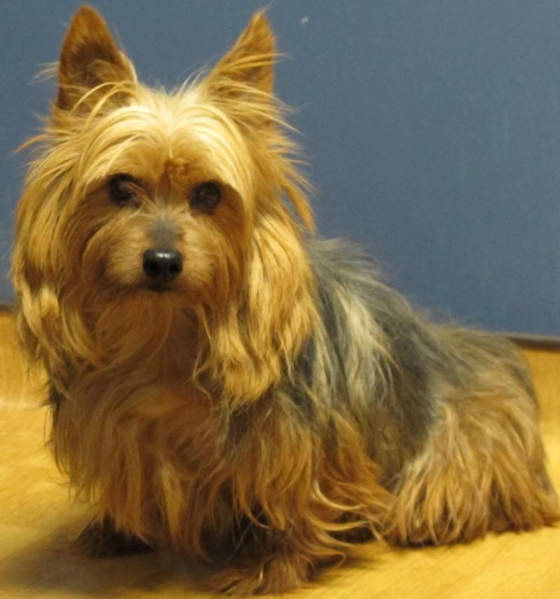 Adopt Carmen on Yorkshire terrier, Terrier dogs