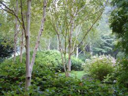 Betula Utilis Jacquemontii or the himalayan birch. Grows to about 15m or so, hardy tree, beautiful, especially the multistemmed ones.
