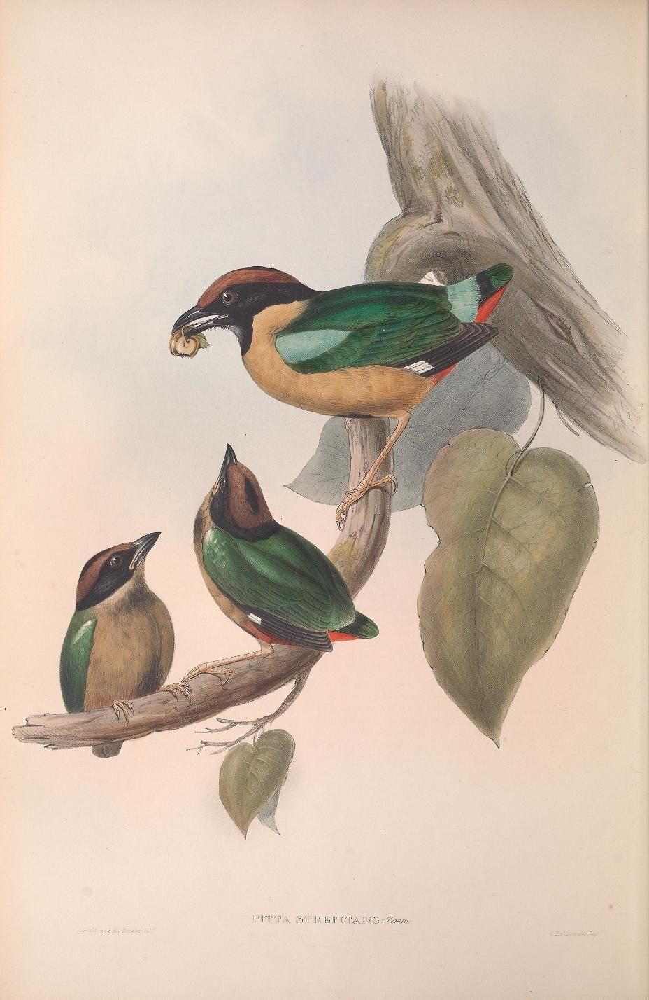 John gould v4 1848 the birds of australia