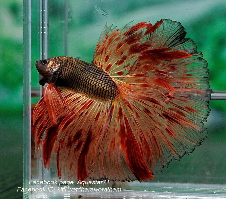 Armageddon fighting fish pinterest betta for Prettiest betta fish