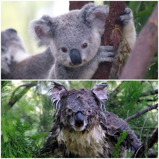 Wet Koalas Are Just Precious Http Ift Tt 2nphar7 Cute Animals Animals Beautiful Cute Baby Animals
