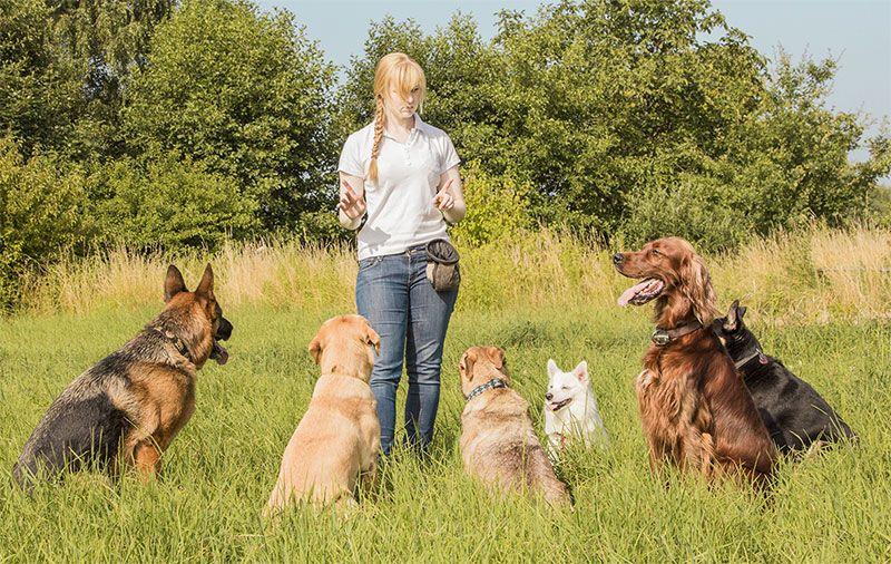 Dog Trainer Certification Program Animal Behavior College Dog